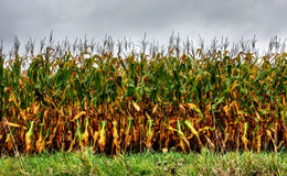 Corn in summer time royalty free stock photo