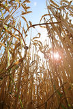Corn with sun Stock Images