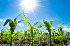 Corn and sun Stock Image