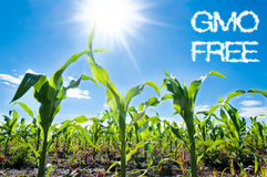 Corn and sun Royalty Free Stock Photo