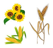 Corn, Sunflowers and Wheat Royalty Free Stock Photography