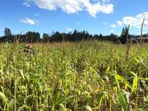 Corn Royalty Free Stock Photo