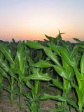 Corn During a Sunrise – 1. This photo was taken during an early Summer sunrise. The field is located in Rossville, Illinois Royalty Free Stock Photos