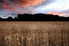 Corn Sunset Royalty Free Stock Photography