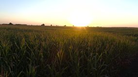 Sunset on a corn plantation. Corn - Sunset at the corn plantation, selective focus stock video