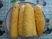 Corn is a tall annual herbaceous plant reaching a height of 3 m. royalty free stock image