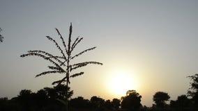 Corn tassel silhouette swinging in the wind stock footage