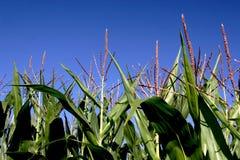 Corn Tassels Stock Image