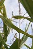 Corn Tassels. Cornstalk tassels reaching toward the sky Royalty Free Stock Photo