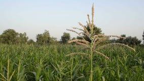 Corn tassels swinging in the wind stock video footage