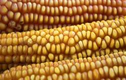 Corn texture Stock Photography
