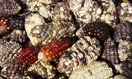 Corn texture Stock Images