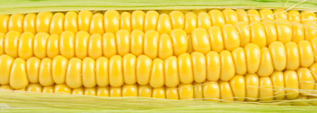 Corn texture. Texture of a ripe yellow corn with leaves Royalty Free Stock Images