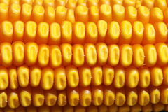 Corn texture Stock Image