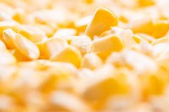 Corn texture. Yellow corns as background stock images