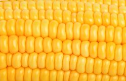 Corn texture yellow corns as background Royalty Free Stock Photography