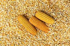Corn texture. Yellow corns as background royalty free stock photography