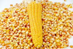 Corn and tinned corn mais Stock Image