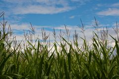 Corn tips on blue sky. Tips of corn with blue sky and some clouds, background Royalty Free Stock Photo