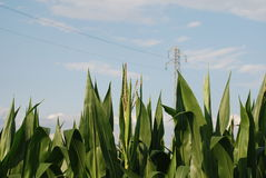 Corn Tops 2 Stock Image