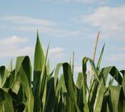 Corn Tops 3 Royalty Free Stock Image