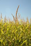 Corn Tops. Tops of corn plants reaching for sky in competitive stance Stock Images