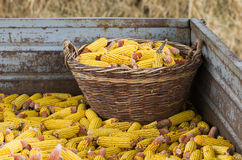 Corn in trailer Stock Photography