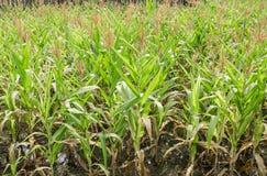 Corn tree leaf Stock Photos