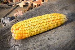 Corn on the tree trunk Royalty Free Stock Images