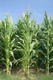 Corn trees Royalty Free Stock Photo
