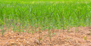 Corn trees. Lacking of water of corn trees on dried soil Royalty Free Stock Image