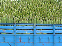 Corn Truck. Amazingly stacked corn in a colorful truck in India Royalty Free Stock Images