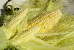 Corn Twins. An ear of corn with two smaller ones Royalty Free Stock Photo