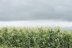 Corn under clouds Royalty Free Stock Images