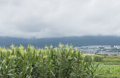 Corn under clouds Royalty Free Stock Photo