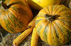 Corn under the pumpkins Royalty Free Stock Image