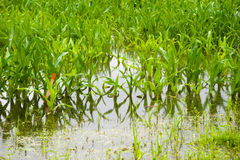 Corn under water Stock Image