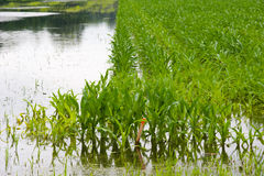 Corn under water Royalty Free Stock Image