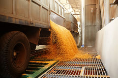 The corn unloaded Stock Photography