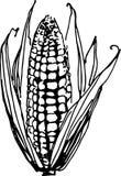 Corn. Vector illustration Stock Image
