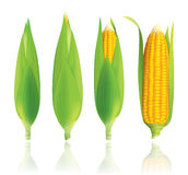 Corn vector illustration. Royalty Free Stock Images