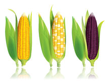 Corn vector illustration. Stock Photography