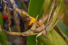 Rotting corn still on the stalk. Corn that was never picked rotting on the stalk Royalty Free Stock Images