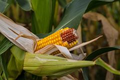 Rotting corn still on the stalk. Corn that was never picked rotting on the stalk Stock Image