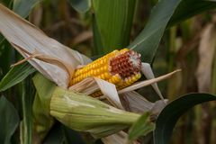 Rotting corn still on the stalk. Corn that was never picked rotting on the stalk Stock Images