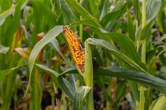 Rotting corn still on the stalk. Corn that was never picked rotting on the stalk Royalty Free Stock Photos