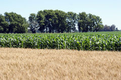 Corn and wheat fields Royalty Free Stock Photos