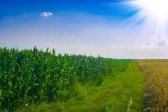 Corn wheat sun Stock Photography