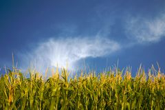 Corn and whispy white clouds royalty free stock images