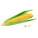 Corn on white background. Corn realistic isolated illustration on white background Stock Photos